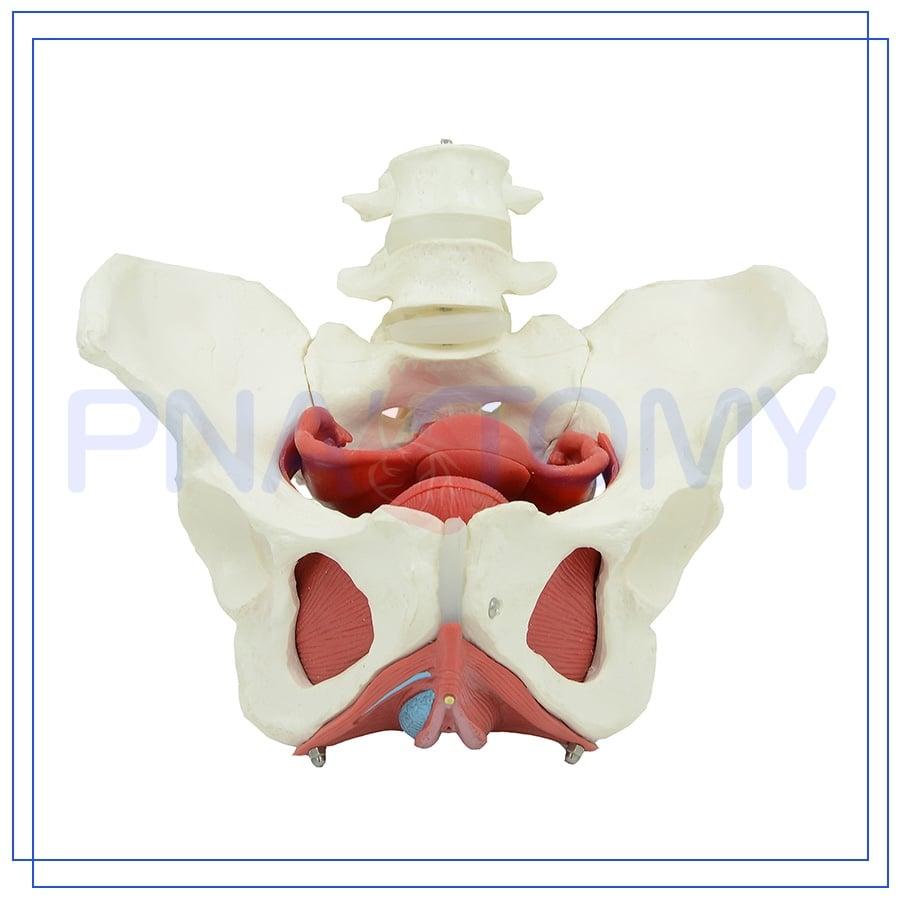 רצפת האגן הנשית מודל 5893 - דגם בסיסי עם איברים פנימיים