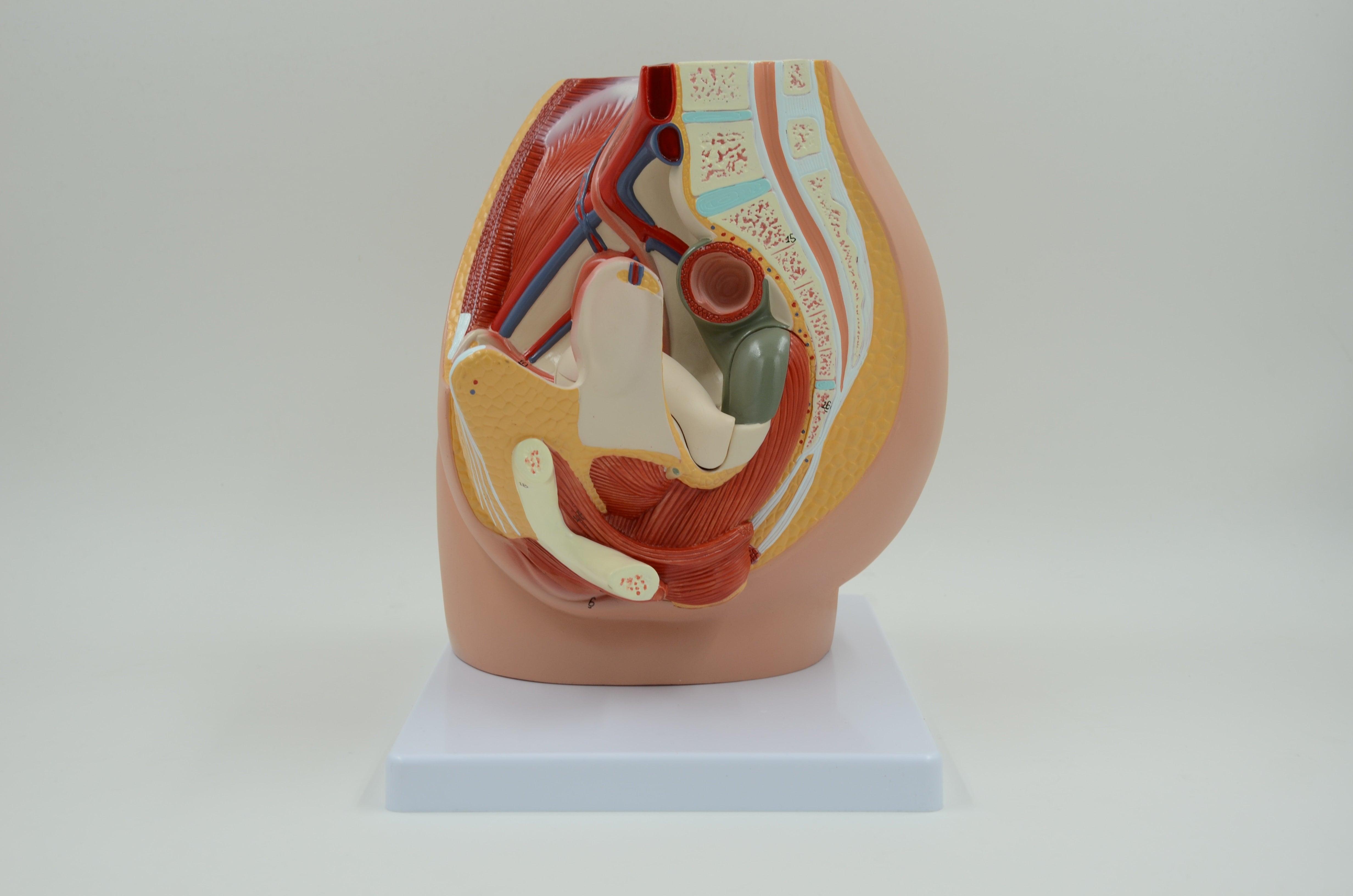 אגן נשי - דגם אנטומי תלת מימדי