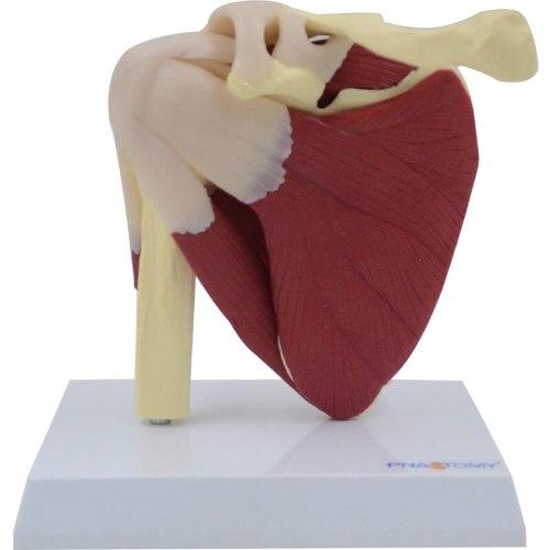 בהזמנה מראש: דגם אנטומי MU201 - מפרק כתף עם שרירים