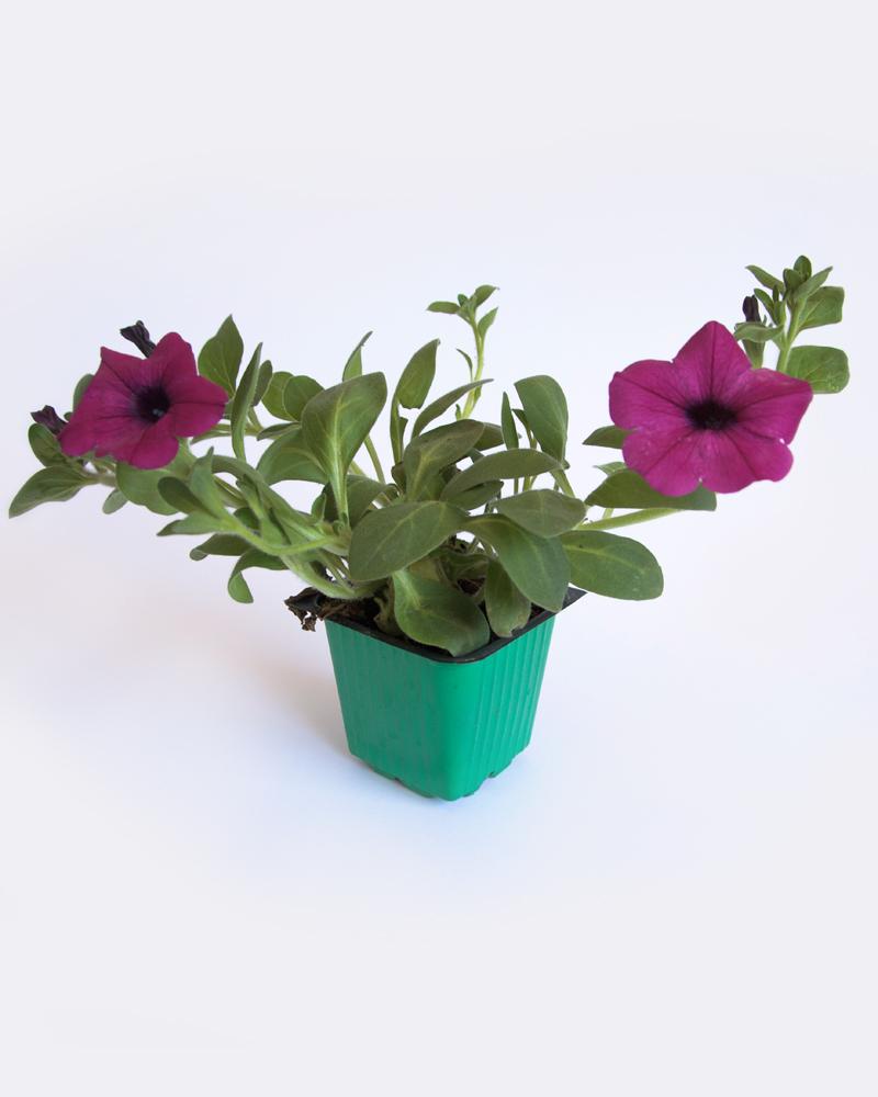 פיטוניה פרח גדול 5 יחידות