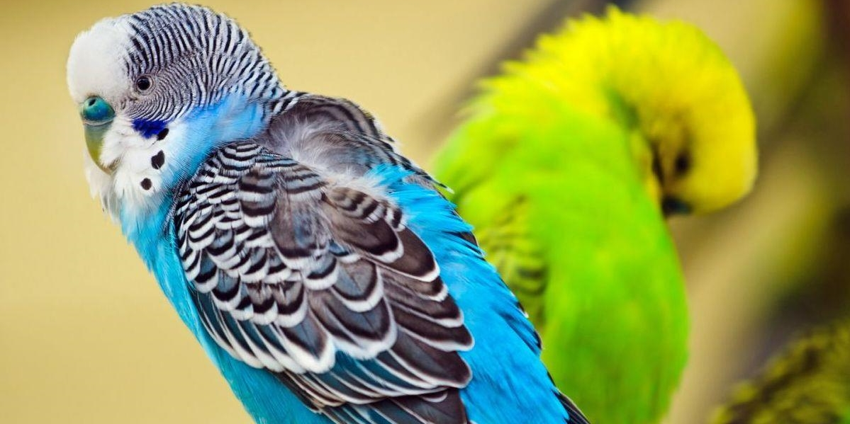 בעלי כנף תוכים וציפורים - שפע לחי - מוצרי איכות ופינוק לבעלי חיים