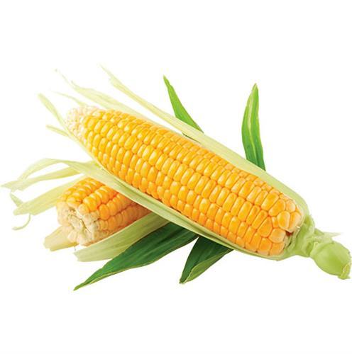 תירס סיון צהוב