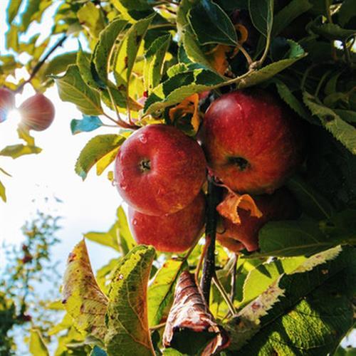 תפוח עץ פינק ליידי (ייבוא) - 1 ק''ג
