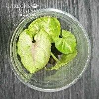 סינגוניום מים גולדן כוס 3