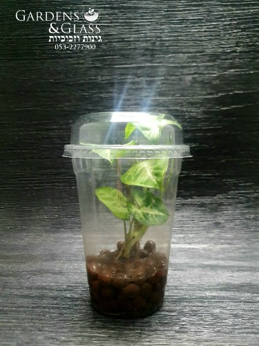 סינגוניום מים ירוק כוס 4