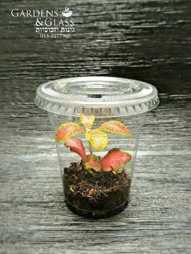 פיטוניה גידי אדום-צהוב כוס 1