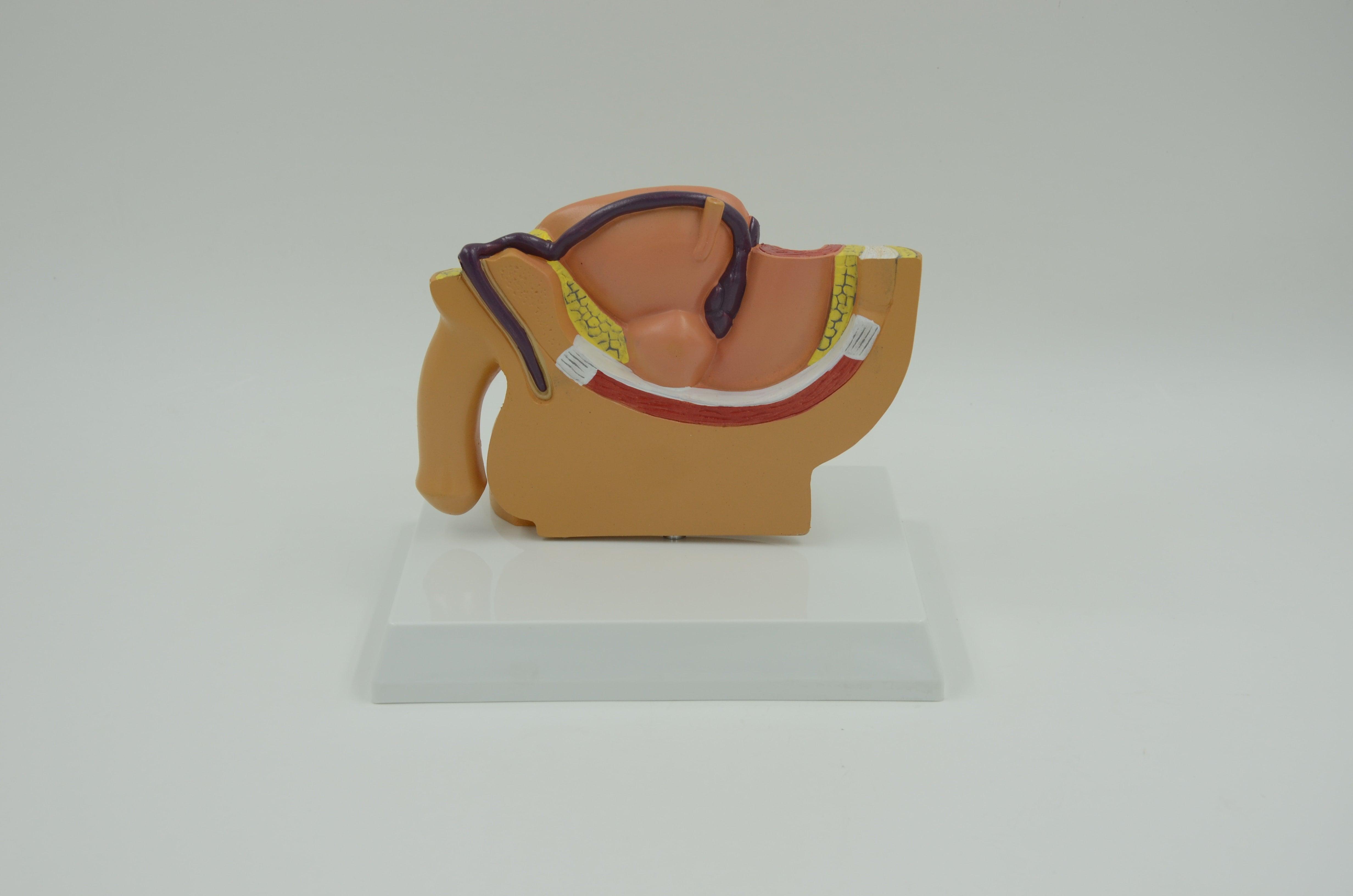 דגם אנטומי שולחני - האגן הגברי