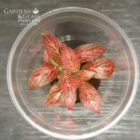 פיטוניה גידי אדום כוס 2