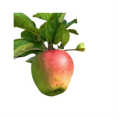 תפוח עץ ענה - 1 ק''ג