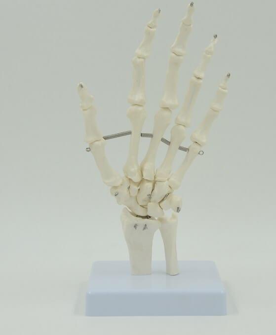 דגם אנטומי 108 - עצמות שורש כף יד