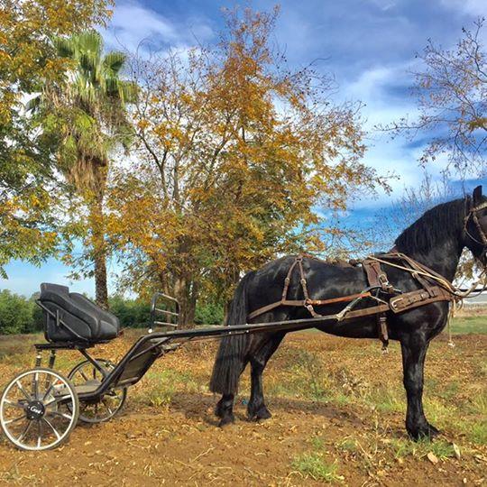 כרכרת יחיד  לאימון סוס בהשכרה חודשית
