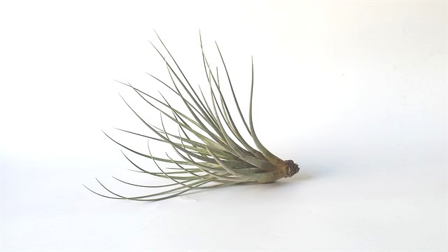 Fasciculata