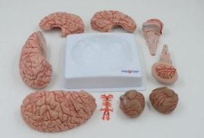בהזמנה מראש: דגם אנטומי 611 - מוח אנושי בגודל מלא, 9 חלקים