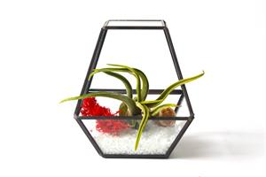 טרריום זכוכית - מצולע וצמח אוויר