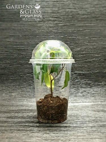 פיקוס עץ ירוק כוס 4