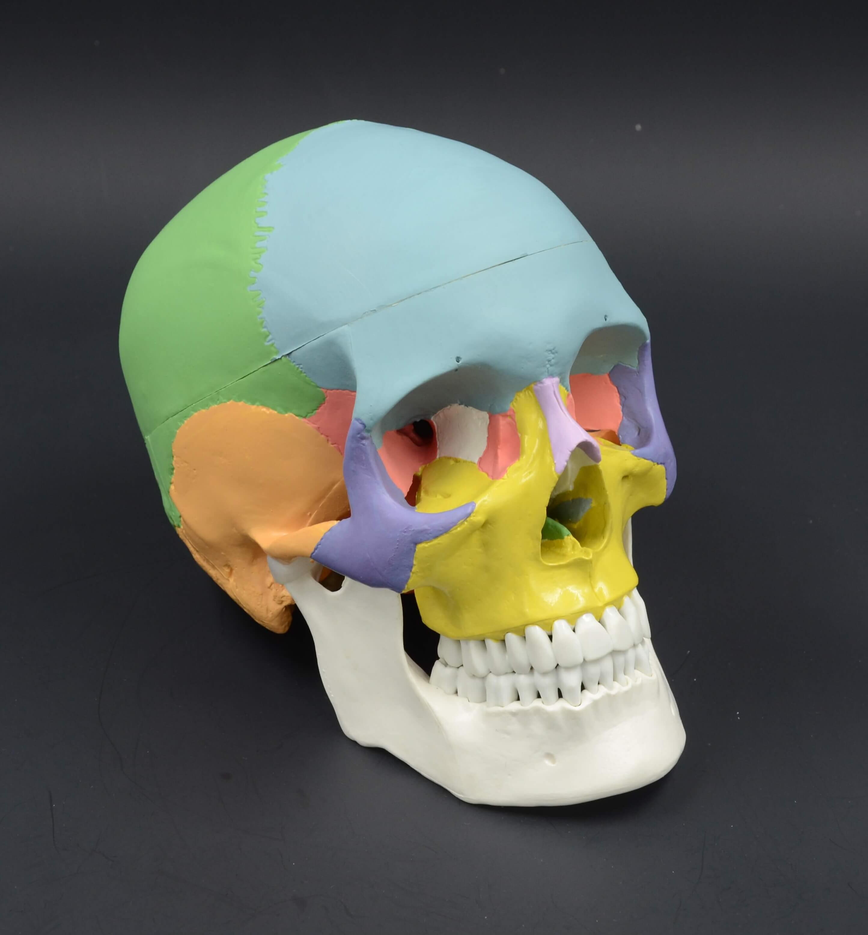 דגם אנטומי של גולגולת