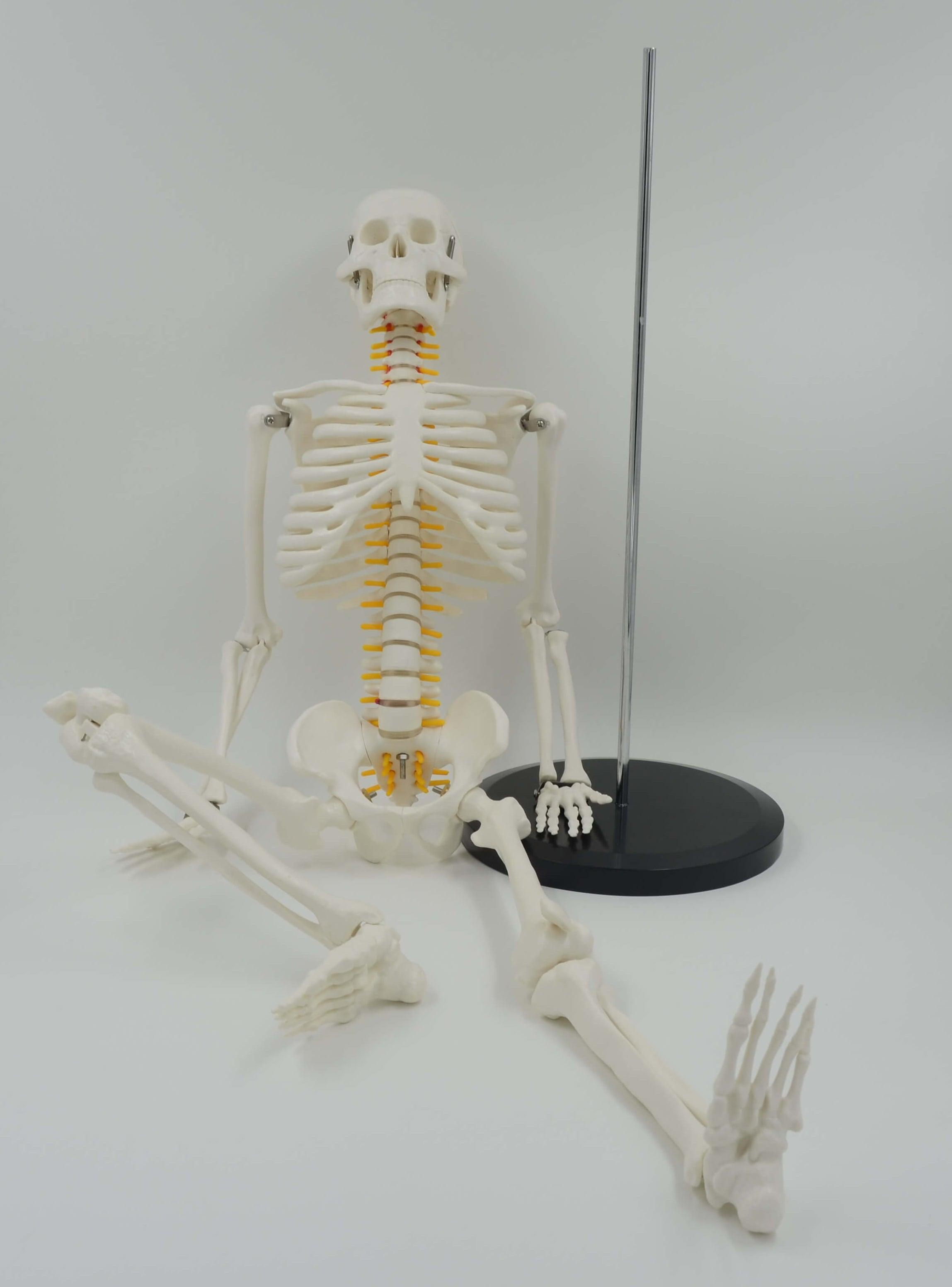 דגם אנטומי של שלד אנושי קטן