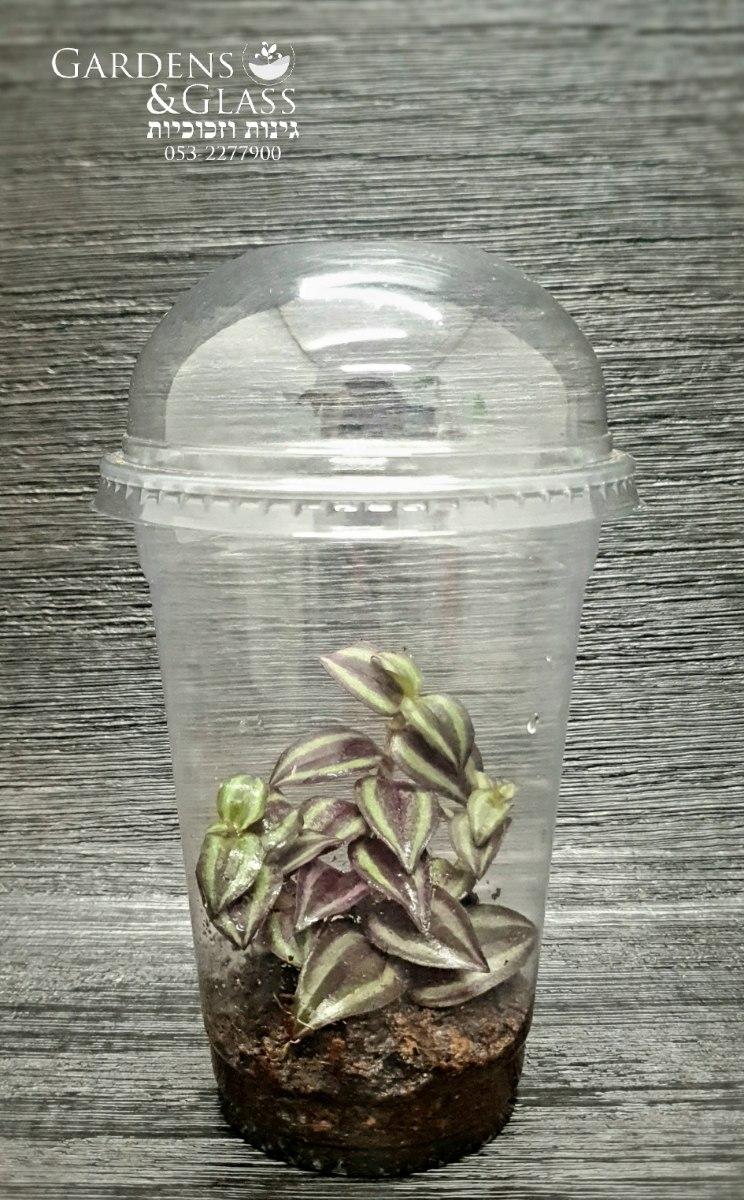 יהודי נודד טרדסקנטיה זברינה כוס 2