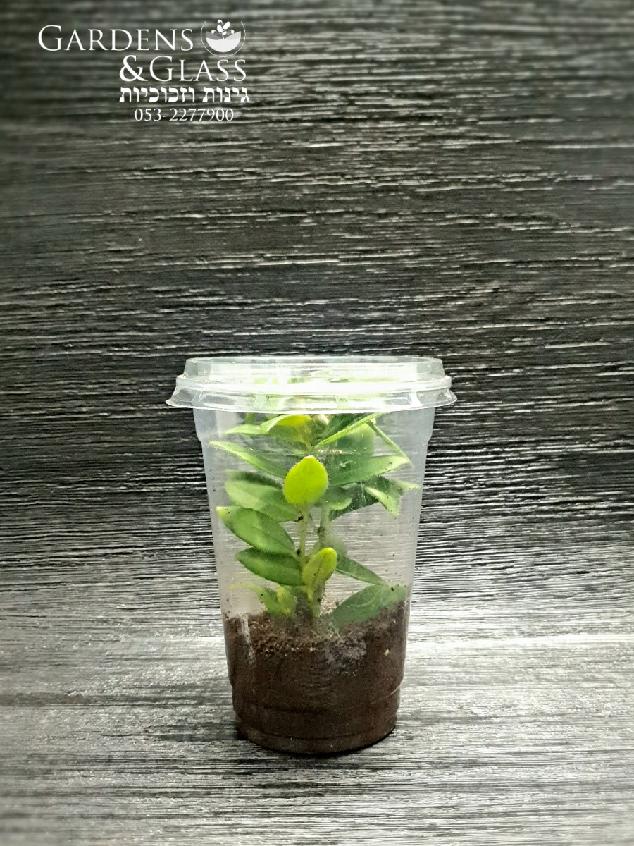 אשיננטוס כוס 4