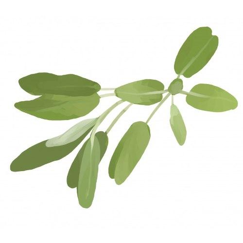 זרעי מורשת - מרווה רפואית