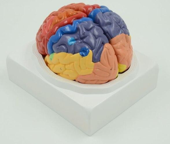 בהזמנה מראש: דגם אנטומי 612 - מוח אנושי צבעוני בגודל טבעי, 2 חלקים