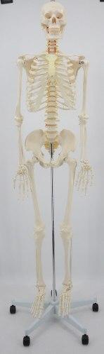 """בהזמנה מראש: דגם אנטומי 101H - שלד אנושי גובה 175 ס""""מ"""