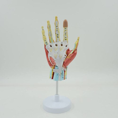 בהזמנה מראש: דגם אנטומי 352 - שרירי היד
