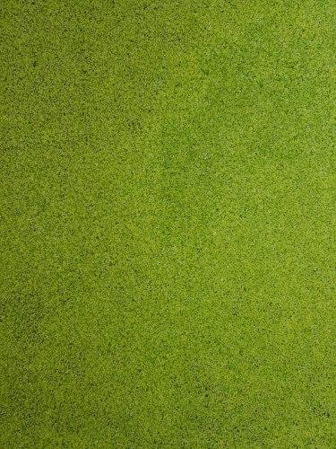 עדשת מיים 40% חלבון טבעונ זמין