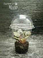 פפרומיה פיקולו בנדנה כוס 2