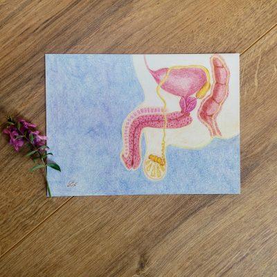 אנטומיה אינטימית- איור 'מערכת הרבייה הגברית' בגלויה