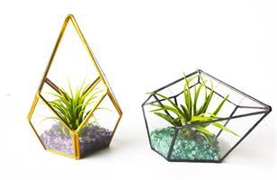 טרריום זכוכית - טיפה וצמח אוויר