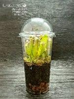 שופירית צמח טורף כוס 3 חממה סטרילית