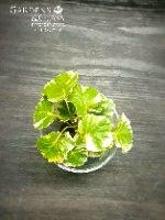 פוליסקיאס מגוון כוס 5