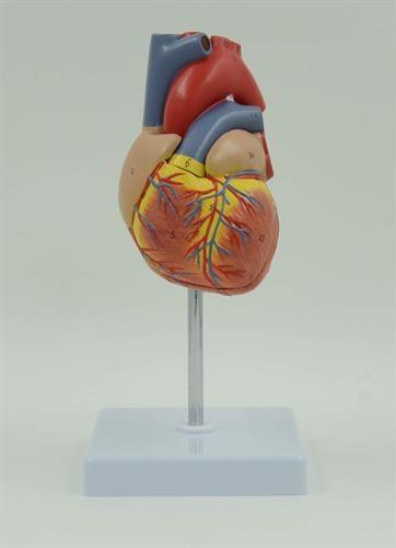 דגם אנטומי של לב