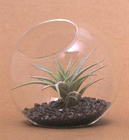 """כדור זכוכית שולחני 12 ס""""מ וצמח"""