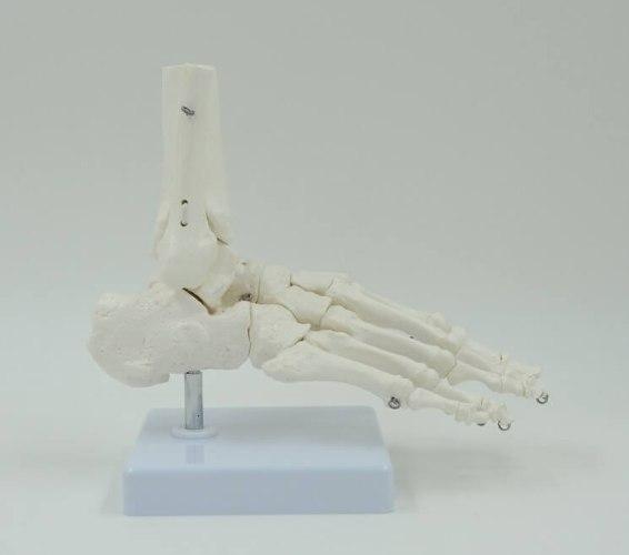 בהזמנה מראש: דגם אנטומי 109 - קרסול וכף רגל
