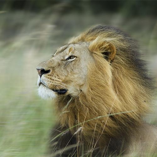 החתולים הגדולים, מלכי הסוואנה | יום ו׳, 13.7, בשעה 12:30 | מרצה: שלמה כרמל