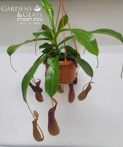 כדנית צמח טורף