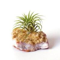 אבן השפע & צמח איוננטה