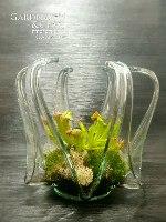 שופירית צמח טורף בכלי