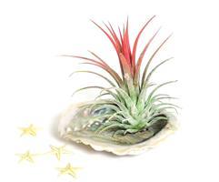 צדף אבלון + צמח איוננטה
