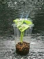 סינגוניום מים גולדן כוס 4