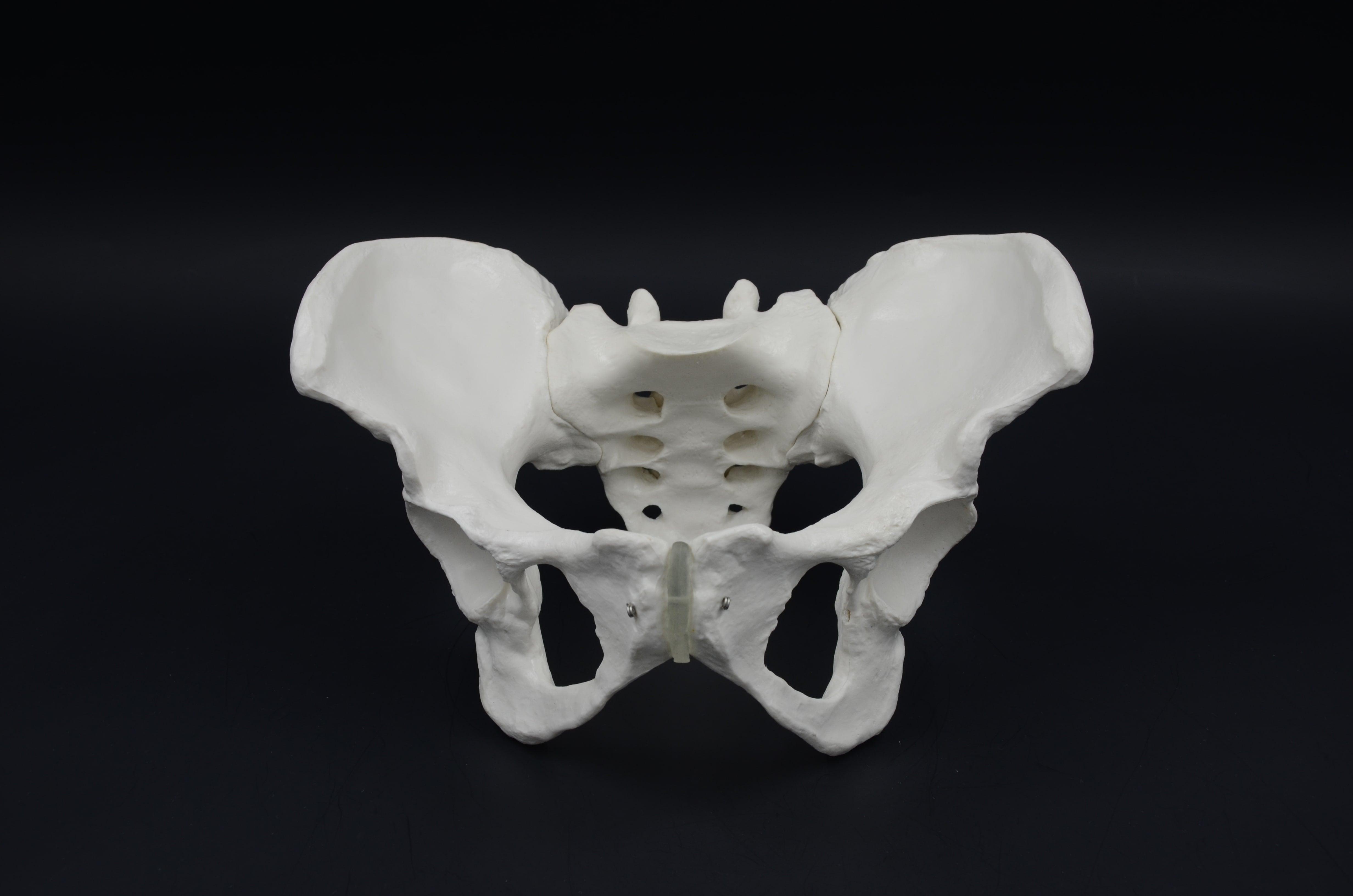 דגם אנטומי - עצמות האגן הנשי