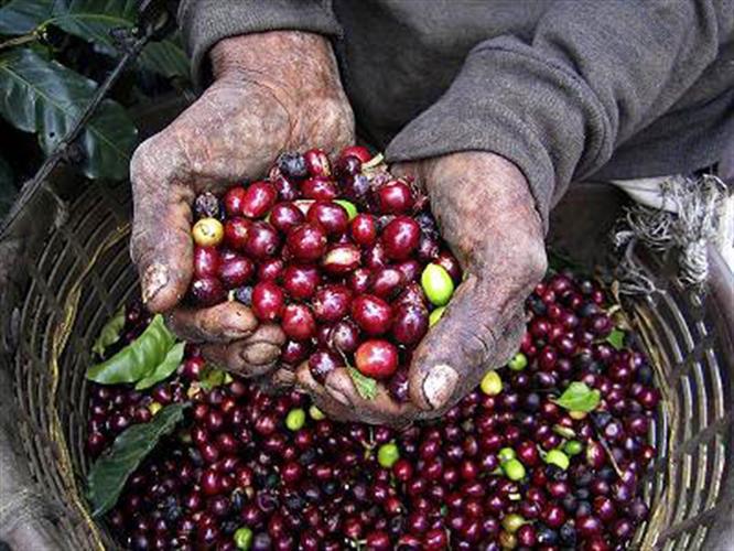 קפה ירוק קובה סרנו סופריור - Cuba Serrano Superior