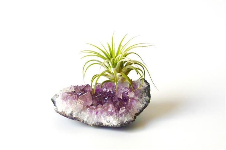 אבן אמטיסט & צמח איוננטה