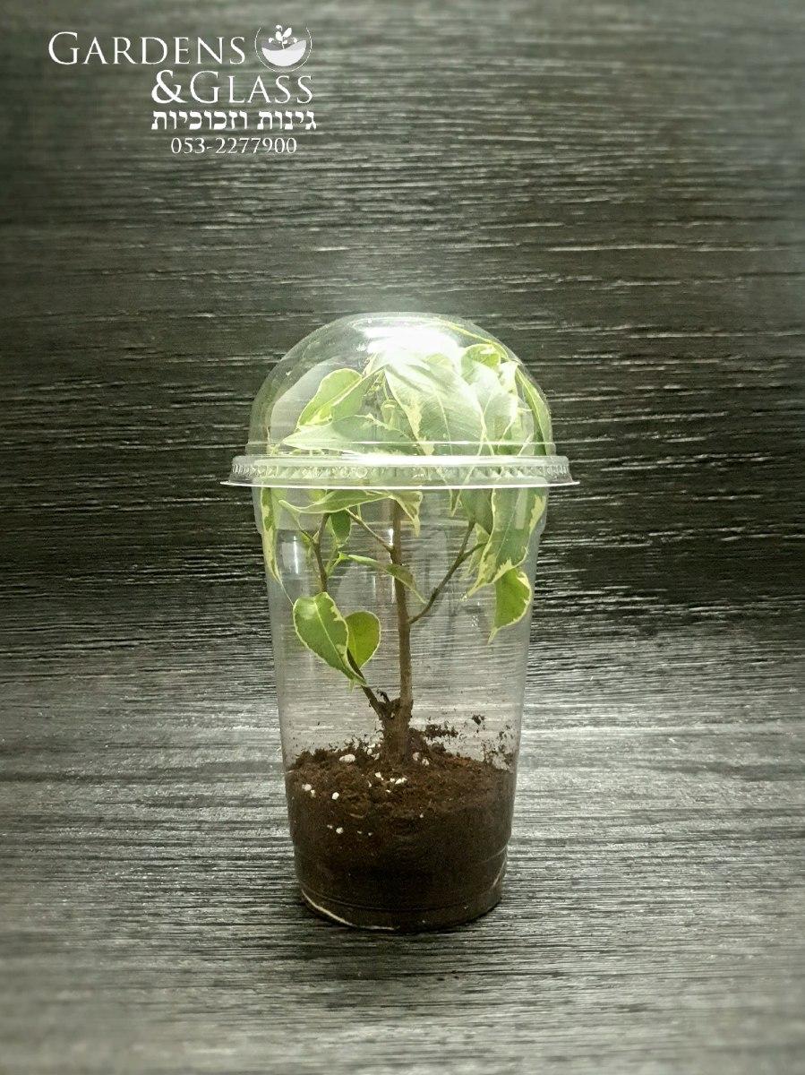 פיקוס עץ מגוון כוס 4