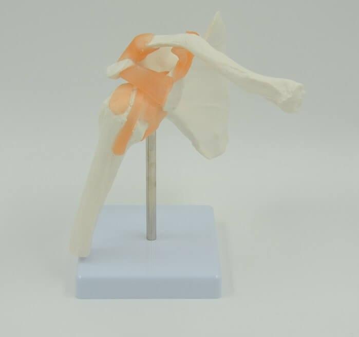 בהזמנה מראש: דגם אנטומי 0201 - מפרק כתף עם רצועות