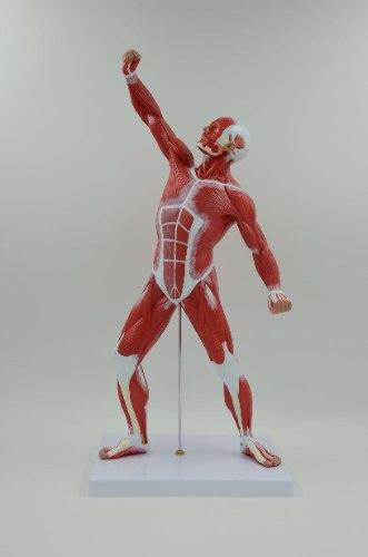 בהזמנה מראש: דגם אנטומי 341 -  גוף האדם: מערכת השרירים