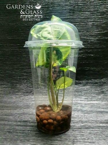סינגוניום מים ירוק כוס 5