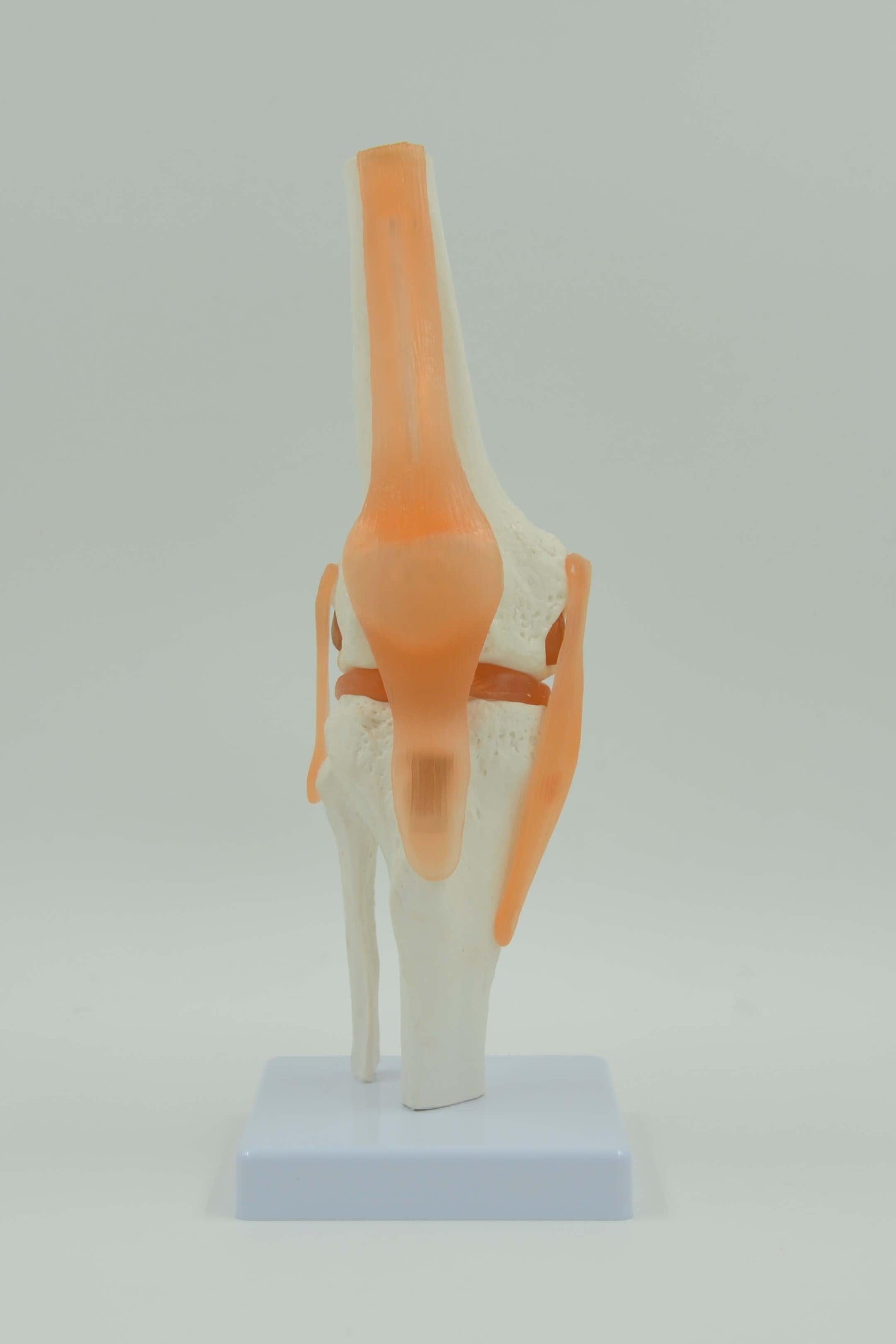 דגם אנטומי 202 - מפרק ברך עם רצועות